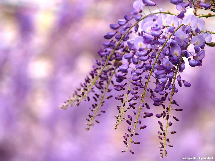 Purple Flower Background for Powerpoint
